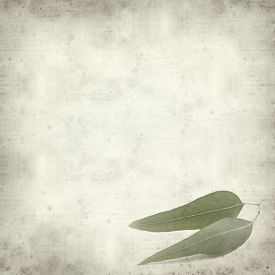 pic of eucalyptus leaves  - textured old paper background with eucalyptus leaves - JPG