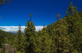 image of burro  - Inland Central Gran Canaria Las Cumbres the highest areas of the islands view over treetops towards Panza de Burro Donkey Belly cloud cover almost always present at the north of the Canary Islands  - JPG