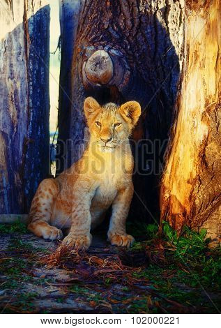 Little lion cub in nature and wooden log .