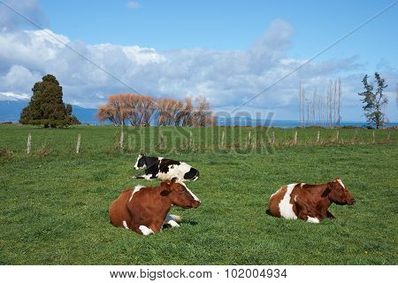 Cattle in Rural Chile