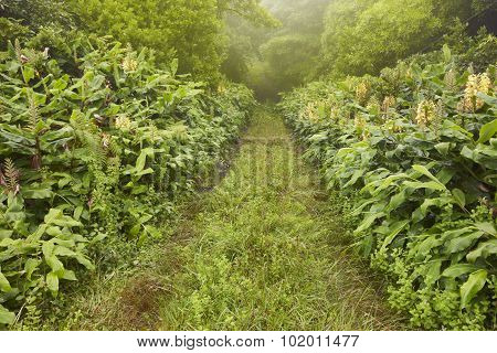Green Pathway On A Foggy Day, Lush Vegetation. Azores Landscape