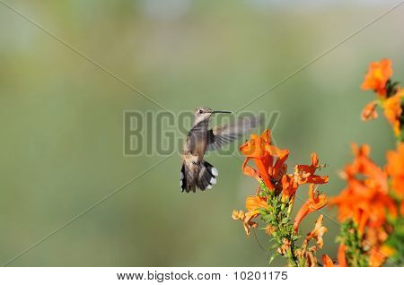 Hummingbird with orange flowers