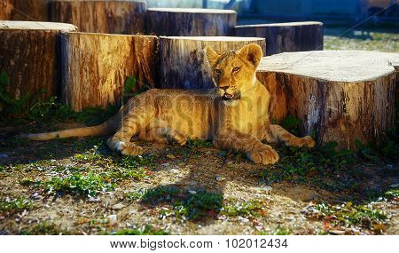 Lion cub in nature and wooden log .