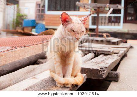 Sick Cat With Skin Disease.