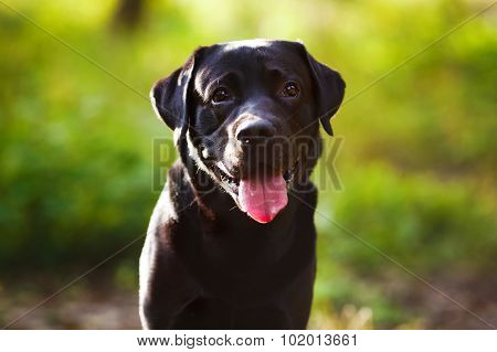 Black Labrador Sitting And Looking At The Camera