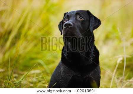 Labrador Looks Guiltily At His Master