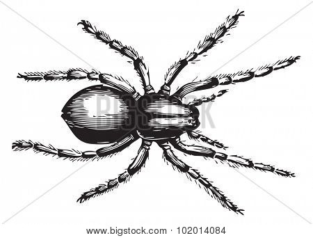 Geolycosa fatifera (the more recent name for lycosa fatifera) is an arachnid in the family Lycosidae, or wolf spiders. Vector illustration of an old engraving from Trousset 1886 - 1891 encyclopedia