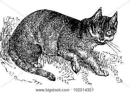 An old engraving of a wild cat (felis catus). From the Dictionnaire encyclopedique Trousset, also known as the Trousset encyclopedia, Paris 1886 - 1891