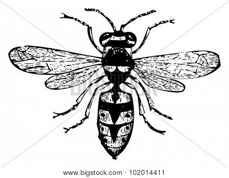 Old engraved illustration of a wasp or vespa vulgaris, isolated on white. Live traced. From the Trousset encyclopedia, Paris 1886 - 1891.