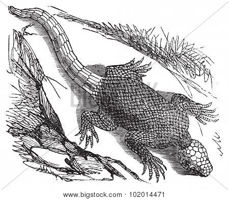 West african spinous lizard or Agama colonorum engraving or vintage illustration. From the reptilia agamidae family. African common small reptile.