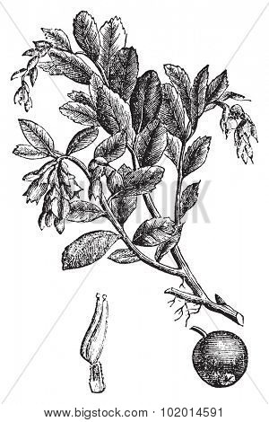 Cowberry, lingonberry or Vaccinium vitis idaea vintage engraving, Old antique engraved illustration of a cowberry plant.