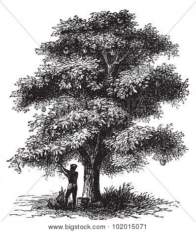Artocarpe, Breadfruit or Artocarpus altilis old engraving. Old engraved illustration of of a man harversting a breadfruit tree.