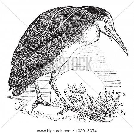 Night Heron also known as Nycticorax nycticorax, Bird, North America, vintage engraved illustration of Night Heron, North America.