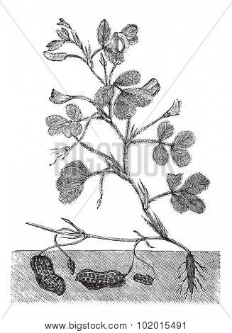 Peanut or groundnut or Arachis hypogea vintage engraving. Old engraved illustration of a peanut plant showing legumes underground.