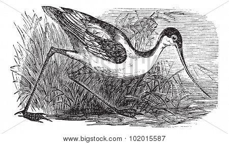 Black-capped Avocet, Eurasian Avocet, Avocet or Recurvirostra bird. Vintage engraved. Old engraved illustration of an Black-capped Avocet found in regions with warm climates.