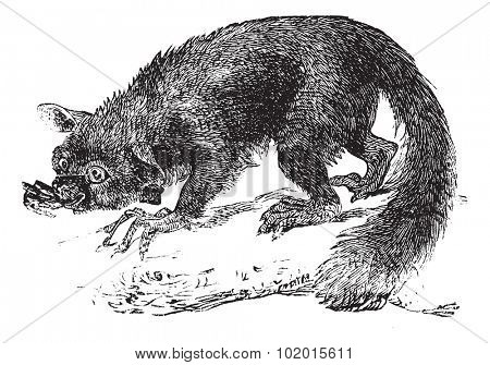 The Aye-aye, lemur or Daubentonia madagascariensis. Vintage engraving. Old engraved illustration of a lemur. A strepsirrhine primate native to Madagascar.