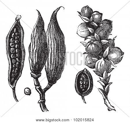 Ceylan cardamom and cardamom round vintage engraving. Old engraved illustration of cardamon pods with seeds.