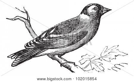 Finch or Fringilla sp., vintage engraving. Old engraved illustration of a Finch perched on a branch.
