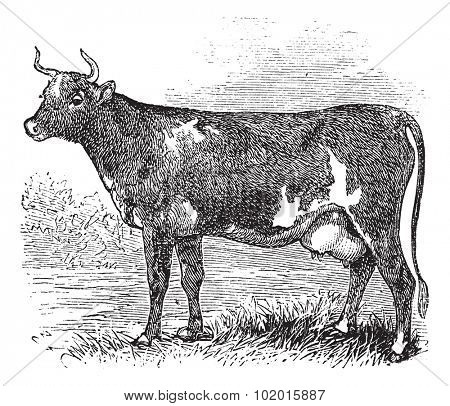 Ayrshire also known as Cunningham. Vintage engraved illustration of Ayrshire cattle.