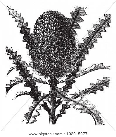 Showy Banksia or Banksia speciosa, vintage engraving. Old engraved illustration of a Showy Banksia.