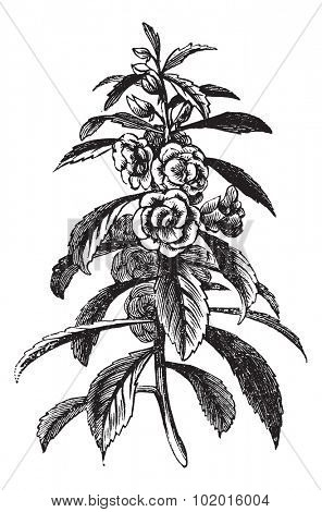 Garden Balsam or Rose Balsam or Impatiens balsamina, vintage engraving. Old engraved illustration of a Garden Balsam plant showing flowers.