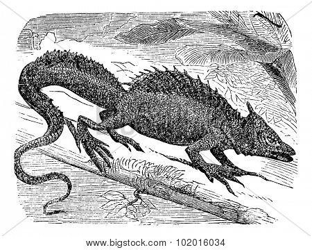 Basilisk or Basiliscus mitratus, vintage engraving. Common basilisk, also known as the Jesus Lizard, Jesus Christ Lizard, or Lagarto de Jesus Cristo.