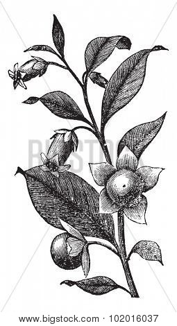 Belladona or Deadly Nightshade or Atropa belladonna, vintage engraving. Old engraved illustration of Belladona plant showing flowers.