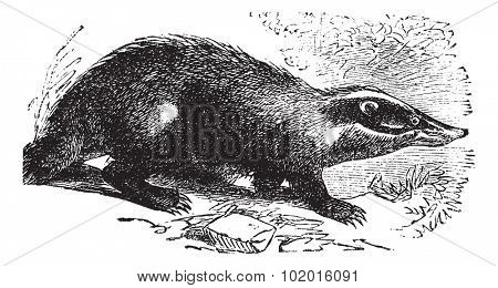 European Badger also known as Meles meles, vintage engraved illustration of European Badger.