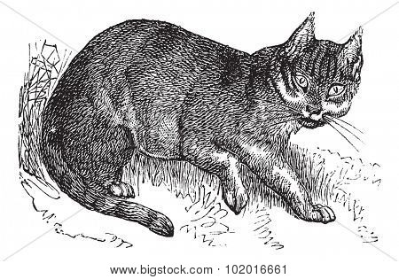 Wildcat or Felis silvestris, vintage engraving. Old engraved illustration of a Wildcat. Trousset encyclopedia.