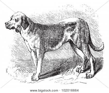 Bloodhound or Saint Hubert Hound or Sleuth Hound or Canis lupus familiaris, vintage engraving. Old engraved illustration of Bloodhound. Trousset encyclopedia.