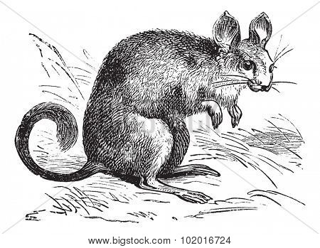 Chinchilla or Chinchilla lanigera, vintage engraving. Old engraved illustration of a Chinchilla. Trousset encyclopedia.