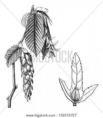 European Hornbeam or Carpinus betulus, vintage engraving. Old engraved illustration of the European Hornbeam showing flowers (left) and winged seed (right). Trousset encyclopedia.
