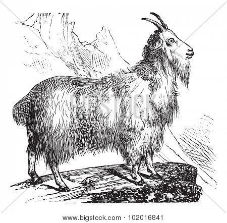 Wild Goat or Capra aegagrus, vintage engraving. Old engraved illustration of Wild Goat. Trousset encyclopedia.