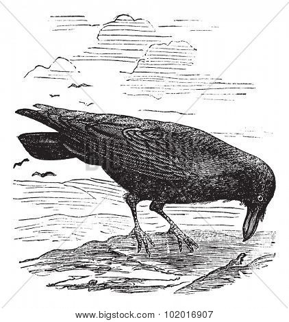 Common Raven or Northern Raven or Corvus corax, vintage engraving. Old engraved illustration of a common Raven. Trousset Encyclopedia