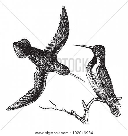Jamaican Mango or Anthracothorax mango, vintage engraving. Old engraved illustration of the Jamaican Mango showing male bird (right) and female bird (left). Trousset Encyclopedia