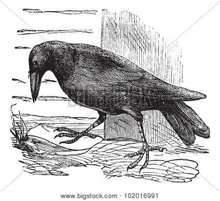 Raven or Corvus sp., vintage engraving. Old engraved illustration of a Raven. Trousset Encyclopedia