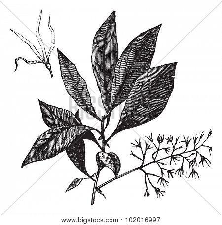 White Fringetree or Chionanthus virginicus, vintage engraving. Old engraved illustration of White Fringetree showing flowers. Trousset Encyclopedia
