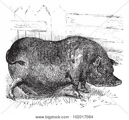 Heude's Pig or Indochinese Warty Pig or Vietnam Warty Pig or Sus bucculentus, vintage engraving. Old engraved illustration of a Heude's Pig. Trousset Encyclopedia.