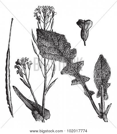 Field Mustard or Turnip Mustard or Brassica rapa or Brassica campestris esculenta, vintage engraving. Engraved illustration of Field Mustard showing flowers,leaves and seedpod. Trousset Encyclopedia