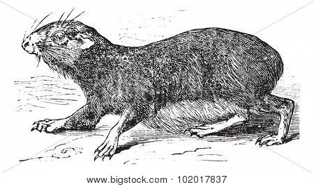 Kerodon rupestris or cavy vintage engraving. Old engraved illustration of Kerodan rupestris. Trousset encyclopedia.