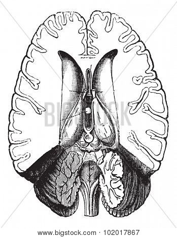 Human brain cut horizontally to show internal parts vintage engraving. Old engraved illustration of human brain cut horizontally to show internal part.Trousset encyclopedia.