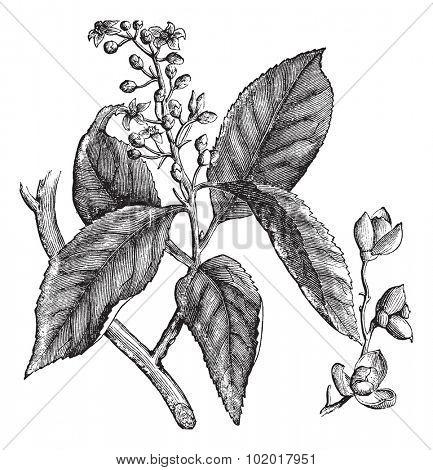 Celastrus scandens or American bittersweet or stafftree vintage engraving. Old engraved illustration of celastrus scandens. Trousset encyclopedia.