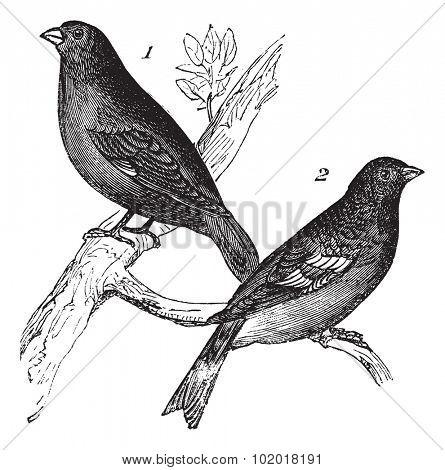 Brambling or Fringilla montifringilla and Carduelis chloris or European Greenfinch , vintage engraving. Old engraved illustration of Brambling (1) and European Greenfinch (2), waiting on a branch.