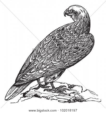 Gyrfalcon or Falco rusticolus or Gerfalcon in Norway, vintage engraving. Old engraved illustration of Gyrfalcon.Trousset Encyclopedia