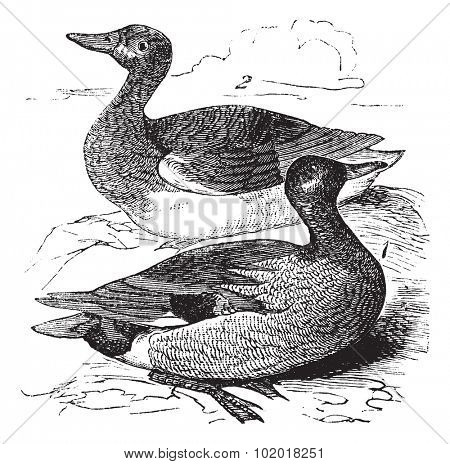 Gadwall or Anas strepera, vintage engraving. Old engraved illustration of male (1) and female (2) Gadwall in a pond. Trousset Encyclopedia