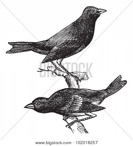 Indigo Bunting or Passerina cyanea, vintage engraving. Old engraved illustration of a pair of Indigo Buntings showing male bird (top) and female bird (bottom). Trousset Encyclopedia