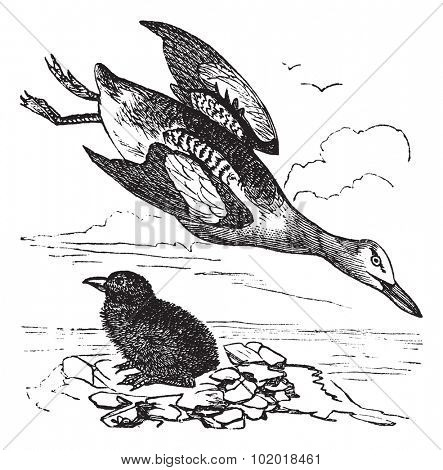 Guillemot and young (winter plumage) vintage engraving. Old engraved illustration of guillemot and young. Trousset Encyclopedia.