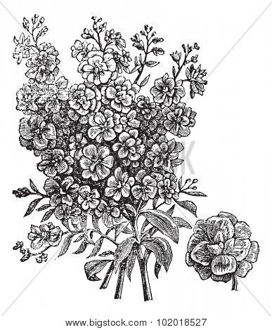 Double wallflower, vintage engraving. Old engraved illustration of Double wallflower, isolated on a white background. Trousset Encyclopedia.