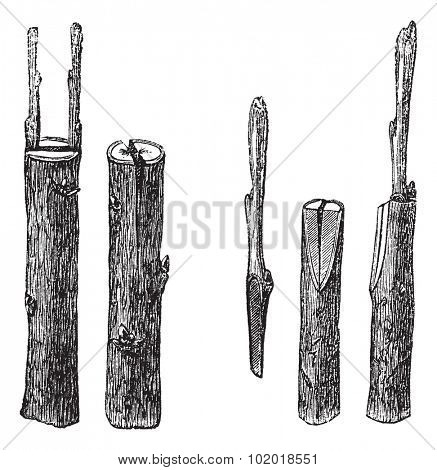 Cleft grafting, vintage engraving. Old engraved illustration of Cleft grafting with different sizes and types, isolated on a white background.  Trousset Encyclopedia.