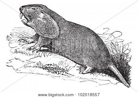 Plains Pocket Gopher or Geomys bursarius or pocket gophers, vintage engraving. Old engraved illustration of Plains Pocket Gopher, running in the meadow. Trousset Encyclopedia.